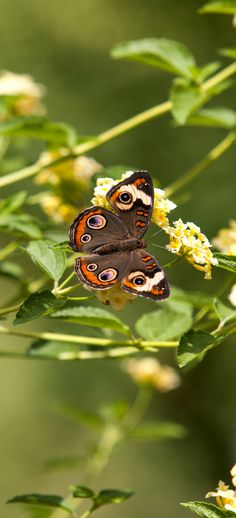 """Common Buckeye Butterfly - they're so pretty with the """"eye"""" patterned wings."""