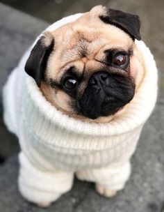 Wonder where you buy these neat little 'Pug warmer… Pugs. Wonder where you buy these neat little 'Pug warmers'? Cute Baby Pugs, Cute Dogs And Puppies, Baby Dogs, Pug Dogs, Cute Little Animals, Cute Funny Animals, Silly Dogs, Cute Animal Pictures, Dog Food
