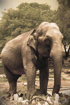 Triste elefante - Sad Elephant