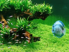Nature Aquarium Galleries by Takashi Amano. Rummy Nose tetras and Discus cichlids.