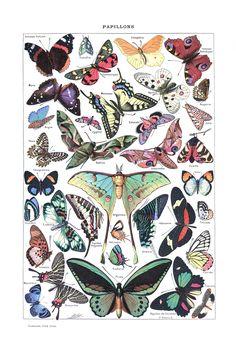 Papillons (Lepidoptera)