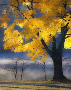 Maple Autumn - Beautiful Tree | Full Dose