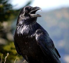 Bellas Aves de El Salvador: CORVUS CORAX (cuevo común) Residente