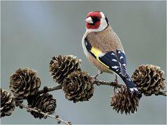 Goldfinch, via Flickr. / TENGELIC