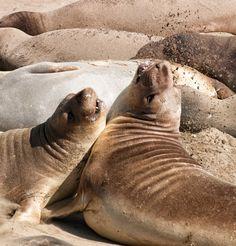 Elephant Seal Vista Point, San Luis Obispo County, California - I...