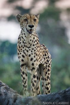 Nicole Cambré Photography - Cheetah in the Kwando concession at Lagoon camp in Botswana