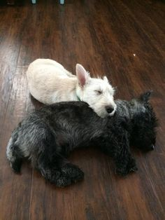 Brindle + wheaten Scottish Terriers snuggling!