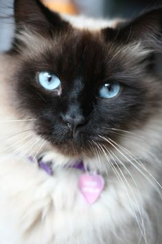 Balinese cat - looks exactly like my cat Latte