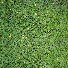 If Creeping Charlie (also called ground ivy or gill-over-the-ground) has taken over your lawn, here's how to get rid of it. |  thisoldhouse.com