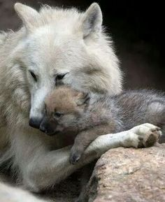 Wolf Cub, wolves, Wolf, howl, beautiful, wild, animals, love, family