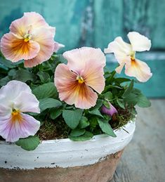Buy Viola x wittrockiana 'Mystique Peach Shades' from Sarah Raven: In a sheltered spot, this mix flowers from late winter all the way through spring. Container Plants, Container Gardening, Container Flowers, Edible Flowers, Paper Flowers, Best Edibles, Plant Delivery, Overwintering, Home Flowers