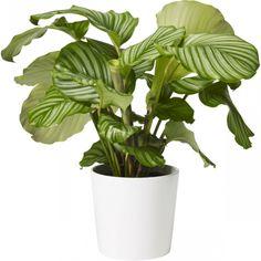 Calathea orbifolia 19cm