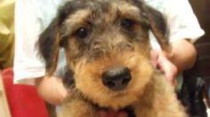 【ヤバイ!キュン死する】萌え〜♪超かわいい♪エアデールテリアの赤ちゃん(Cute puppy /귀여운 강아지 / chiot mignon /...