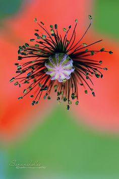 Le feu d'artifice offert par le Coquelicot. / Poppy. / By Saranikolai.