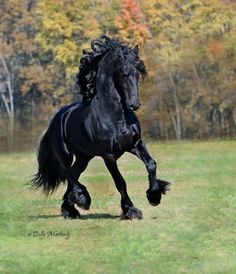 Friesian. My all time favorite horse breed.