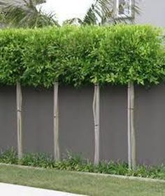 80 Fascinating Evergreen Pleached Trees for Outdoor Landscaping - Garten Back Gardens, Small Gardens, Outdoor Gardens, Small Garden Trees, Privacy Plants, Garden Privacy, Backyard Privacy Trees, Bamboo Screen Garden, Fence Trees