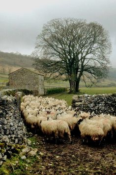 """pagewoman:"""" Swaledale Sheep and Barn, Malham, Yorkshire Dales, England by Hill Top Farmgirl"""" by Lily Sheep Farm, Sheep And Lamb, Yorkshire Dales, Yorkshire England, North Yorkshire, Photos Voyages, England And Scotland, Tier Fotos, English Countryside"""