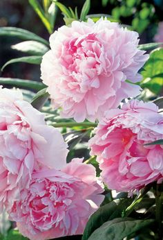 Did you know that peony is an herb? It is widely used in Traditional Chinese Medicine in a variety of herbal medicines. The plant is generally not used in modern Western medicine, but scientists continue to study its effects and properties. Learn more.