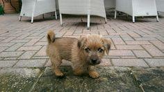 Norfolk Terrier, Norwich Terrier, Toto, Cairn Terriers, Dog Love, Puppies, Friends, Animals, Amigos