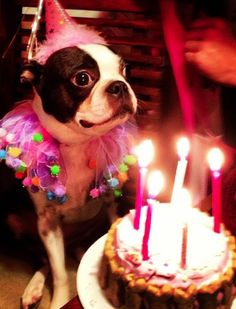 That's How this Boston Terrier Dog named Pixies Celebrated her 5th Birthday! ► http://www.bterrier.com/?p=28523 - https://www.facebook.com/bterrierdogs