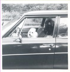 poodles in a car