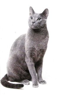 """Russian Blue Cat - 40 years ago I didn't realize that my gorgeous """"Appolo"""" was a Russian Blue... and what a gentle soul he was."""