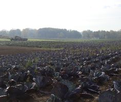 Organic Cabbage harvest. Available ALL WINTER!