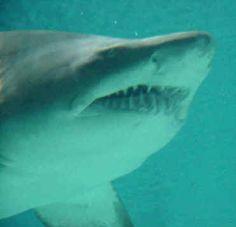 1000+ images about Judah Ocean Ecosystem on Pinterest | Shark facts ...