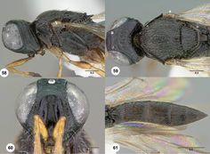Oxyscelio pulveris holotype