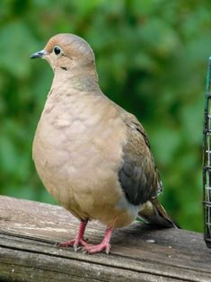 Mourning Dove / Peaceful Spring Day - No blue Jays  - S.Dorman's photo