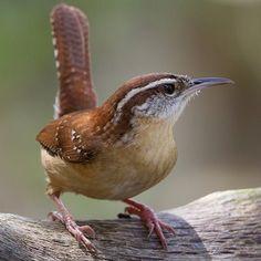 State Bird of South Carolina - Carolina Wren