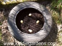 Growing potatoes in old tires