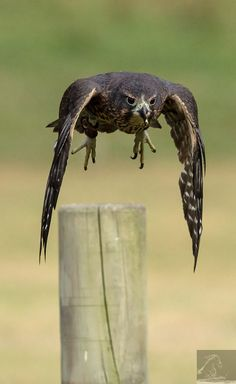 A female NZ falcon takes off at Wingspan, NZ…