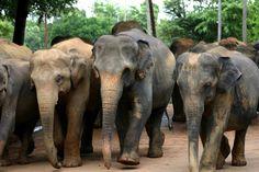 Google Image Result for http://upload.wikimedia.org/wikipedia/commons/6/65/Sri_Lanka_Elephants_03.jpg