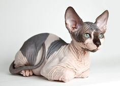 Sphynx Cat Breed - Love the marking and those green eyes (with a hint of blue).  Cute kitten.