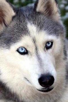 cão,azul,flor,olhos,lobo wallpapers iPhone 4/4S 640x960