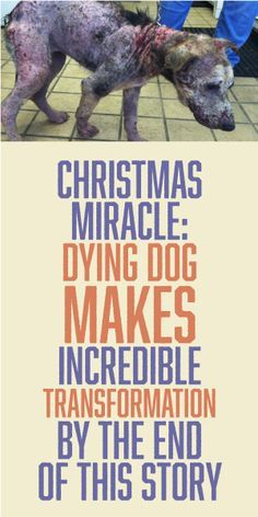 CHRISTMAS MIRACLE: Dying Dog Makes Incredible Transformation By The End of This Story