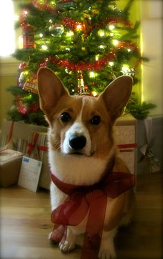 I would take a Corgi under my Christmas tree - or any tree - any time of the year!!!!!