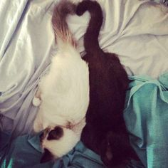 Like ying and yang - sealpoint birman Stella and her bestie british shorthair Cleo @cleo.stella  #birmans #birman #sacredbirman #heligbirma #birmania #birmanie #pyhäbirma #instabirmans #birmansofinstagram #blueeyes #whitecats #fluffycats #instacats #catsofinstagram #cats #kittens #instakittens #kittensofinstagram #lovecats #birmavanner #tabbycats #toocute #beautifulcats #excellentcats #tortiecats #sealpoint #brumaskad #bestcatfriends