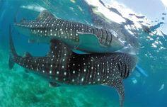 Swim with Whale Sharks (Rhincodon Typus). #badianislandwellnessresort #BIWRtourandexcursion #WhaleSharkWatching