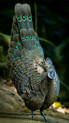 Peacock - Burmese peacock-pheasant also known as The Grey Peacock-pheasant is a large Asian bird of the Galliformes. It is the national bird of Myanmar, Asia.