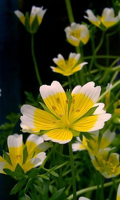 Poached Egg Flower (Limnanthes douglasii)
