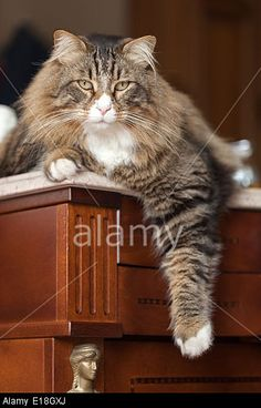 Relaxed Brown Fluffy Cat Stock Photo, Picture and Royalty Free Image. Pic. 69645034