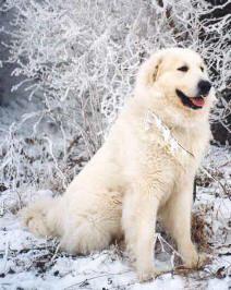 Dog Times - Cão dos Pirineus - Guia de Raças Great Pyrenees Dog, Husky, Labrador Retriever, Dogs, Cute, Animals, Dressage, Diy Dog, Labrador Retrievers