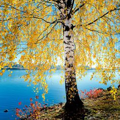 Ideas Birch Tree Photography Nature Fall For 2019 Tree Photography, Landscape Photography, Birch Tree Art, Autumn Scenes, Autumn Painting, Photo Tree, Willow Tree Figurines, Nature Pictures, Trees To Plant