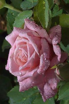 Parfum de trandafir împrospătat de roua dimineți