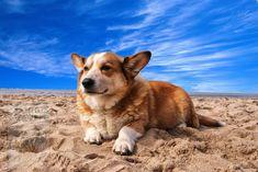 Welsh Corgi Pembroke, Corgi Husky Mix, Corgi Names, Short Dog, Dog Mixes, Cardigan Welsh Corgi, Beautiful Dogs, Dog Breeds, Husky Mix