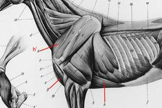 h' is the subclavius or cranial deep pectoral muscle