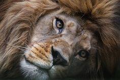 """Awakening"" The Beautiful Nubian/Burberry Lion, Now Extinct in The Wild by Sue Demetrio"