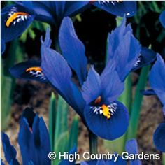 "Iris reticulata 'Harmony': Harmony' Miniature Iris..4"" tall. Early spring blooming. A particularly strong spreader in the garden, 'Harmony' will create a carpet of bright blue in just a few seasons. 24 bulbs per bag.   Zones 3-9"